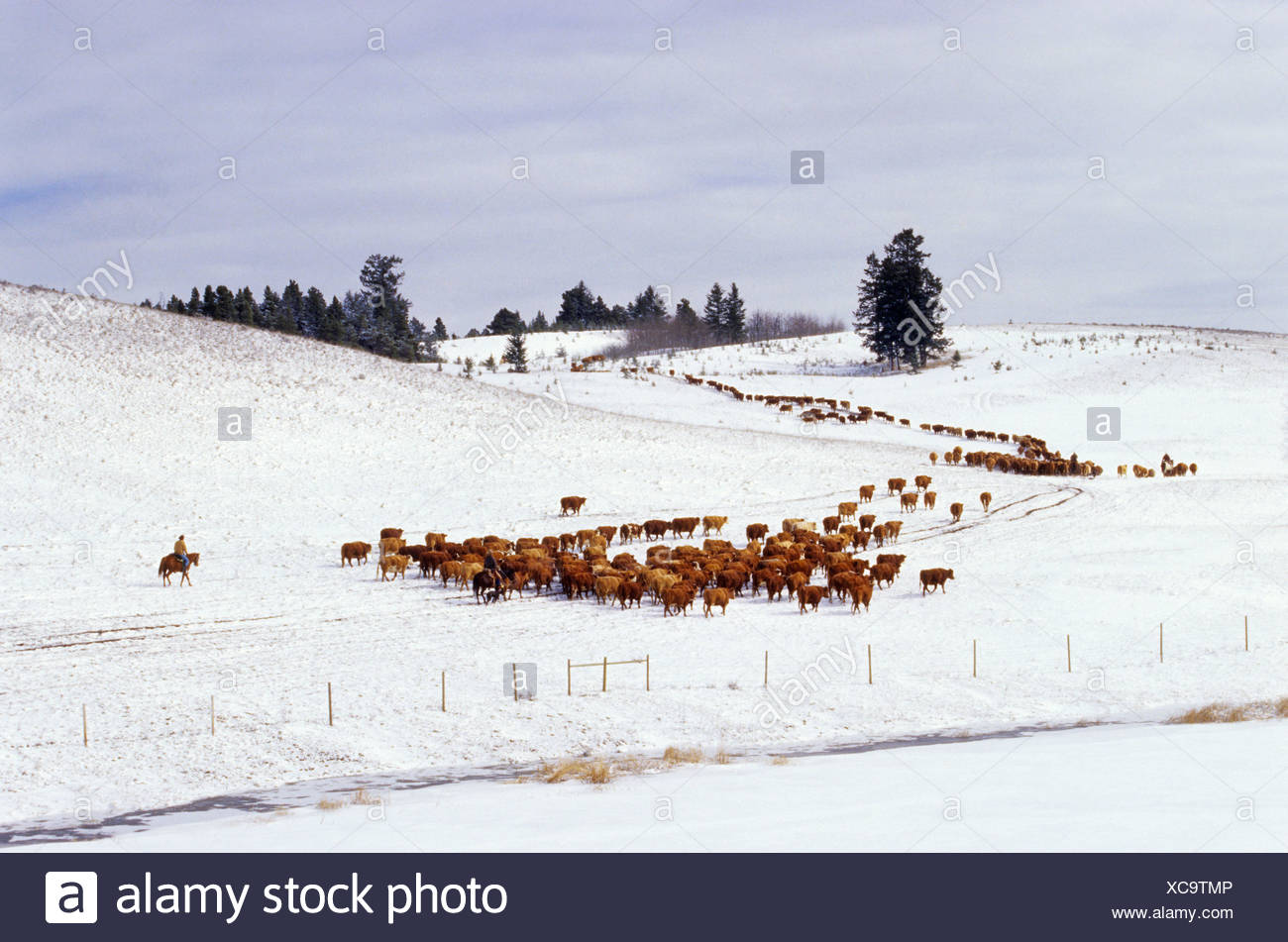 Cattle roundup in the winter in the Cariboo region of British Columbia, Canada - Stock Image