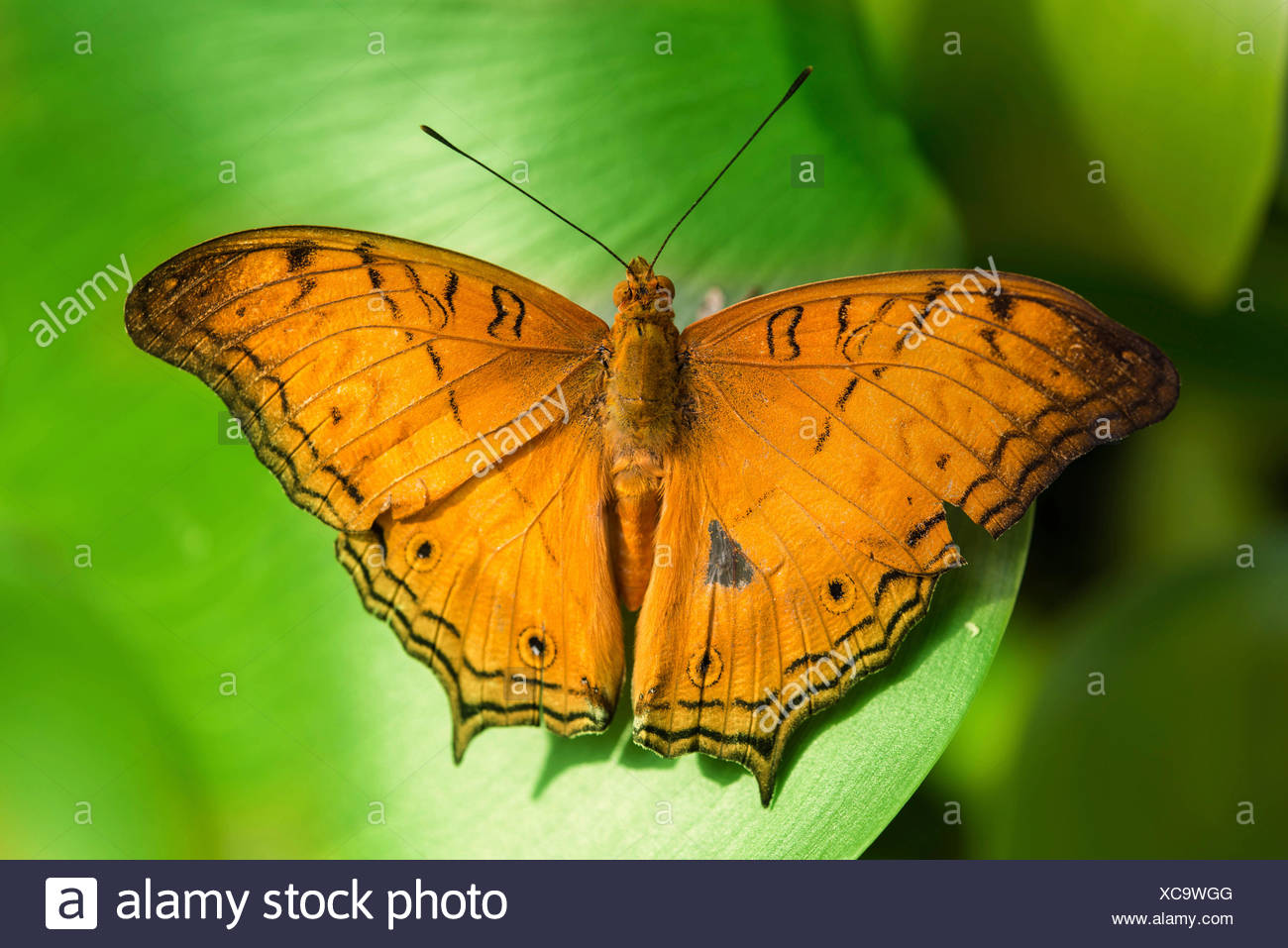 Brush-footed Butterfly (Nymphalidae), captive, Munich Stock Photo