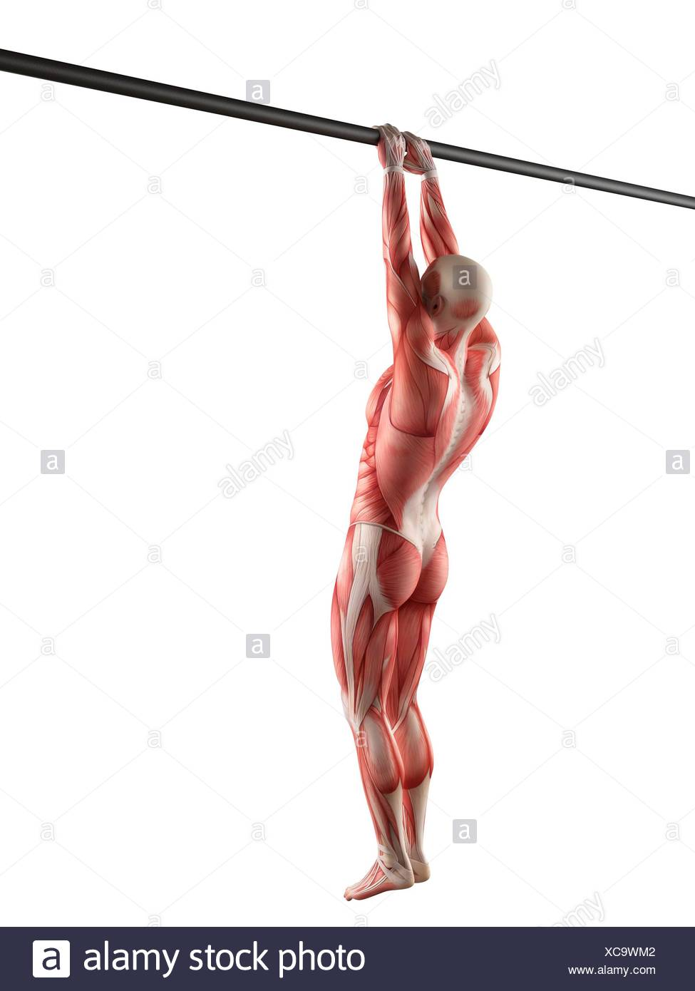 Muscular system of person using chin up bar, illustration Stock ...