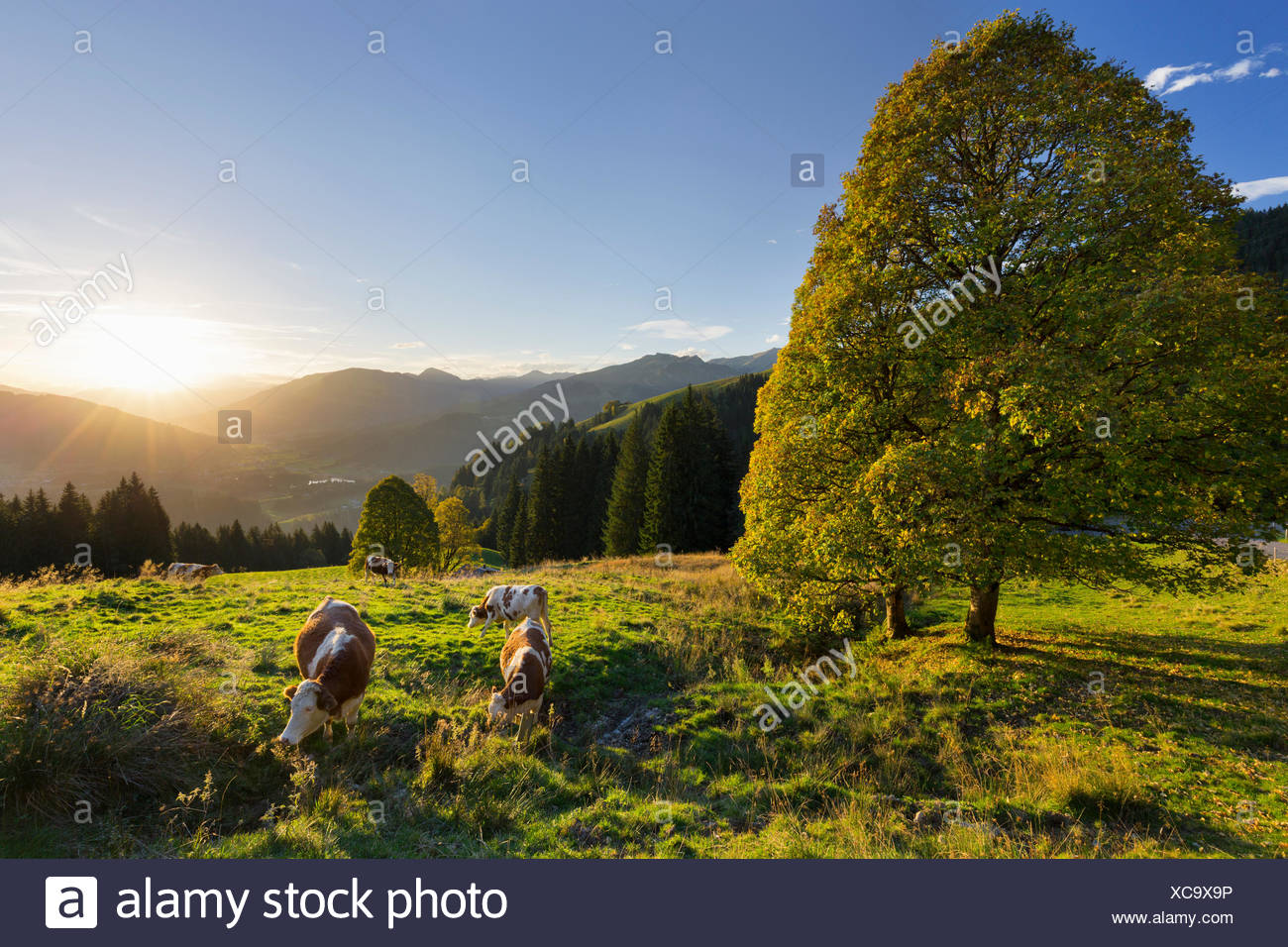 Evening mood at the Kitzbüheler Horn, harewood, Tyrol, Austria - Stock Image
