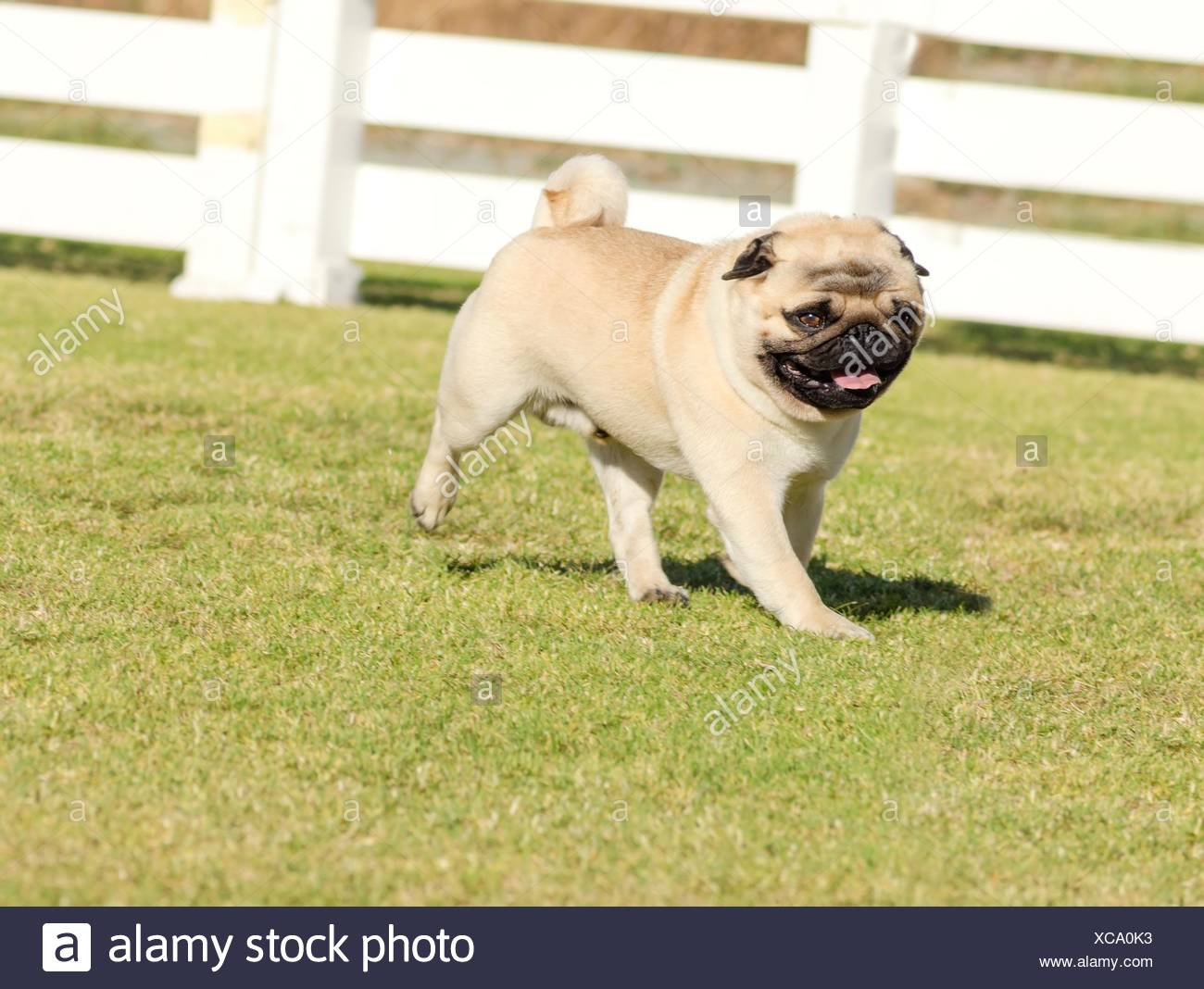 A small, young, beautiful, fawn Pug with a wrinkly short muzzled face running on the lawn looking playful and cheerful. The chinese pug is a happy dog with deep wrinkles, round head and curled tail over the back. - Stock Image