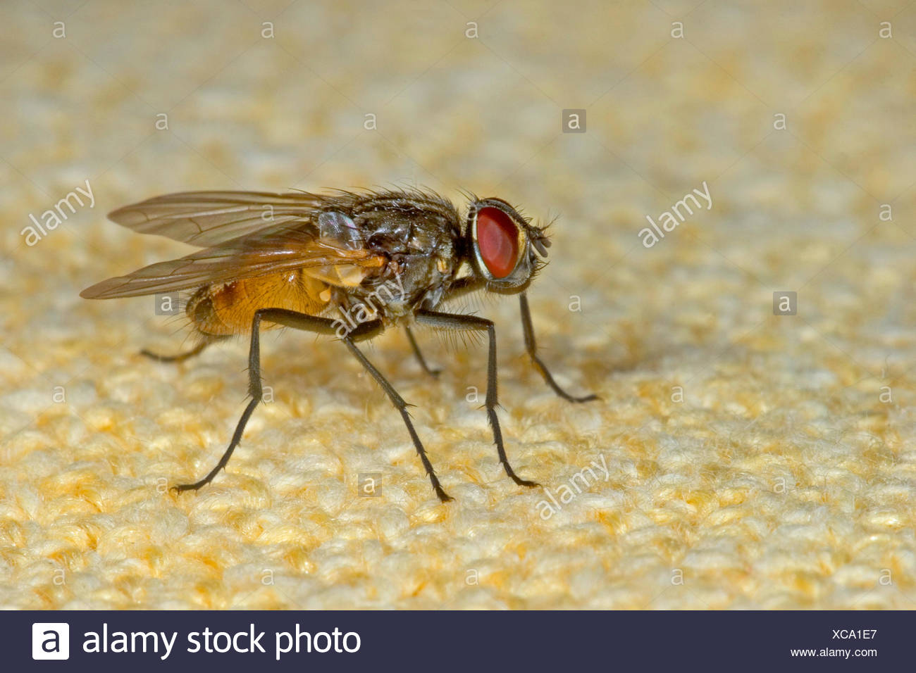 House fly (Musca domestica), on a tablecloth, Germany - Stock Image