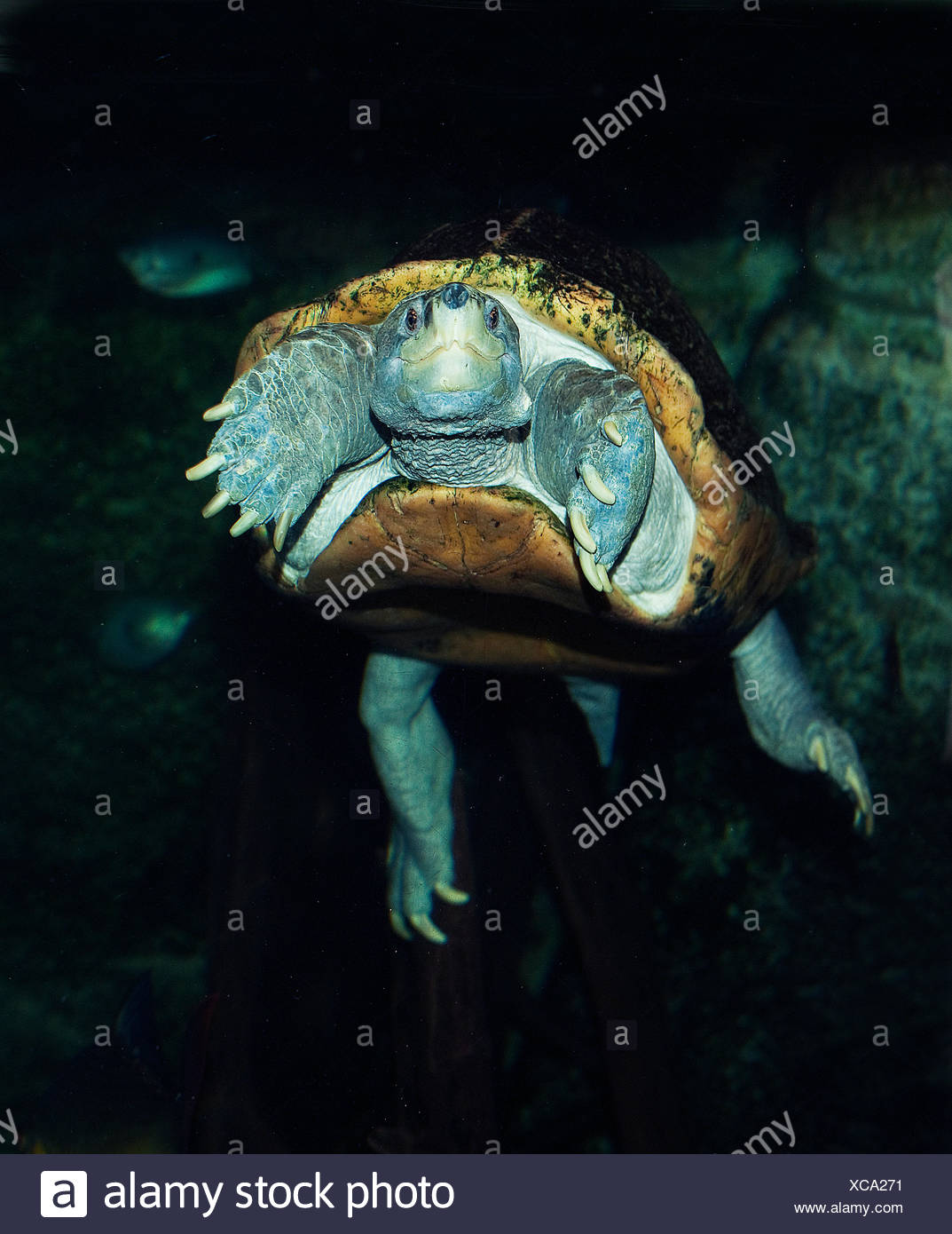 GIANT ASIAN POND TURTLE OR TEMPLE TURTLE heosemys grandis, ADULT - Stock Image
