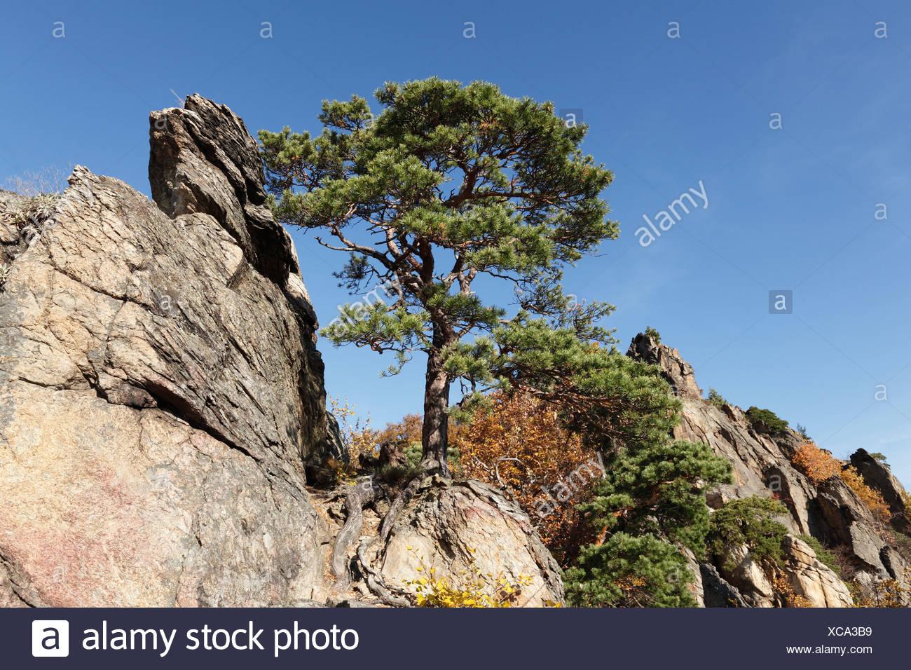 Pine tree growing on a rock, Vogelberg mountain near Duernstein, Wachau valley, Waldviertel region, Lower Austria, Austria - Stock Image