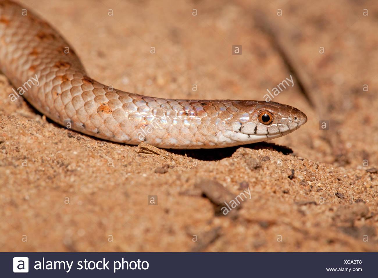 photo of a variegated slug eater - Stock Image