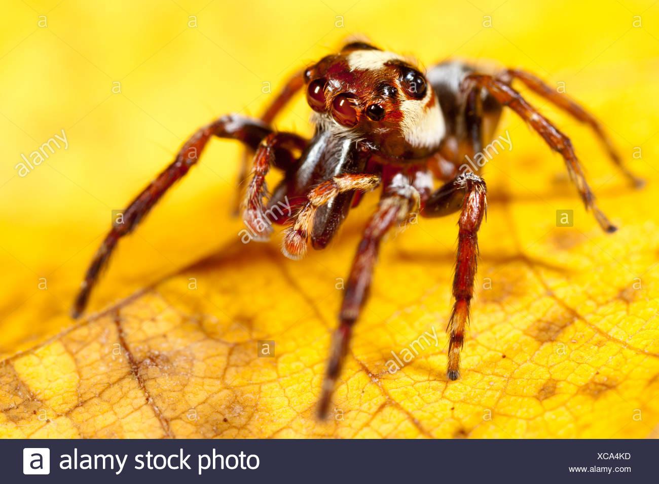 Jumping spider on yellow leaf.  Masoala Peninsula National Park, Madagascar. - Stock Image