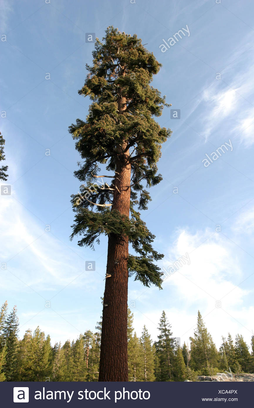 Abies magnifica, California red fir - Stock Image