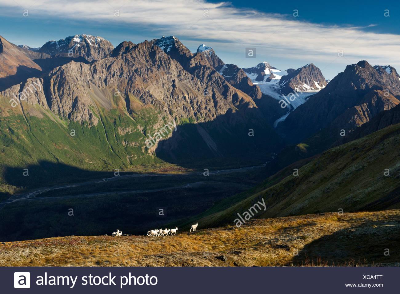 Dall Sheep on a ridge overlooking Eklutna River, Eklutna Glacier, Chugach State Park, Southcentral Alaska, Autumn - Stock Image