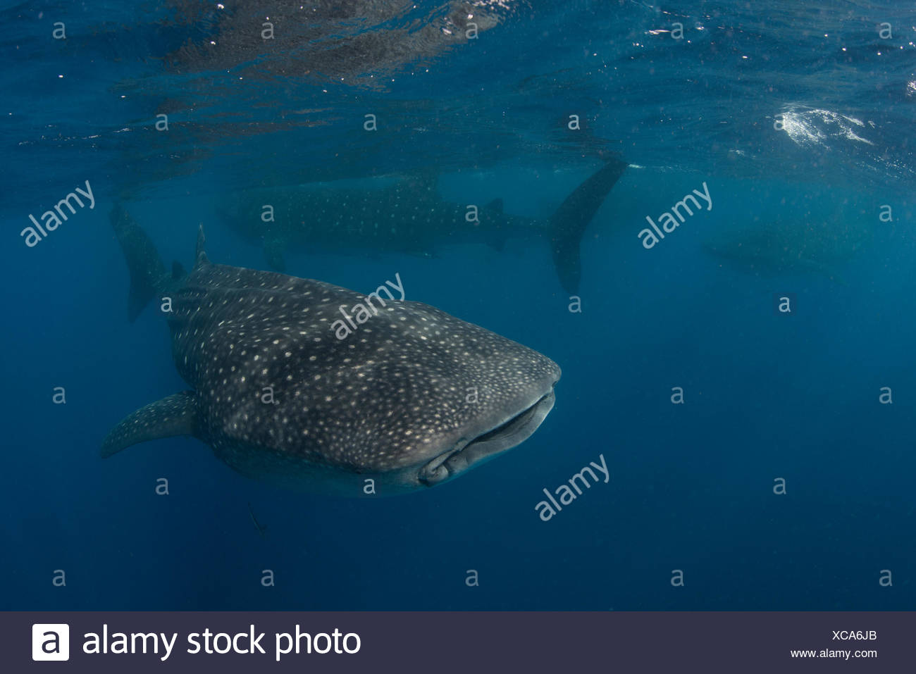 Large whale sharks (Rhincodon typus) feeding on fish eggs at sea surface, Isla Mujeres, Mexico - Stock Image