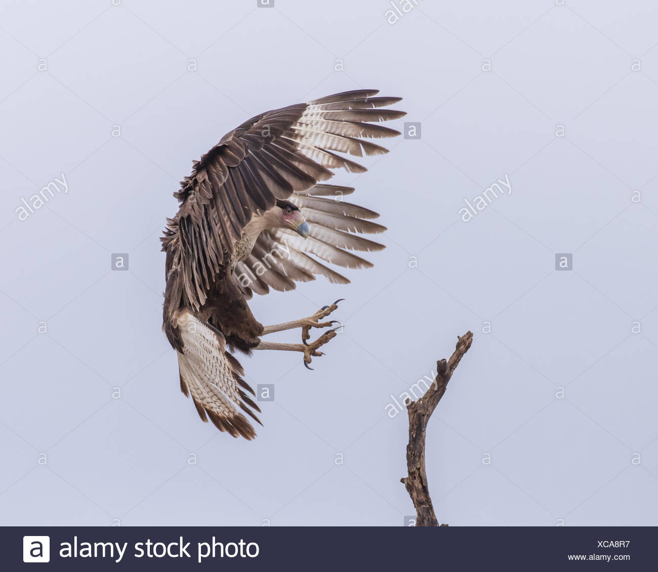 A crested caracara, also known as the Mexican eagle, with wings in a braking position and talons extended prepares to land on a branch. - Stock Image