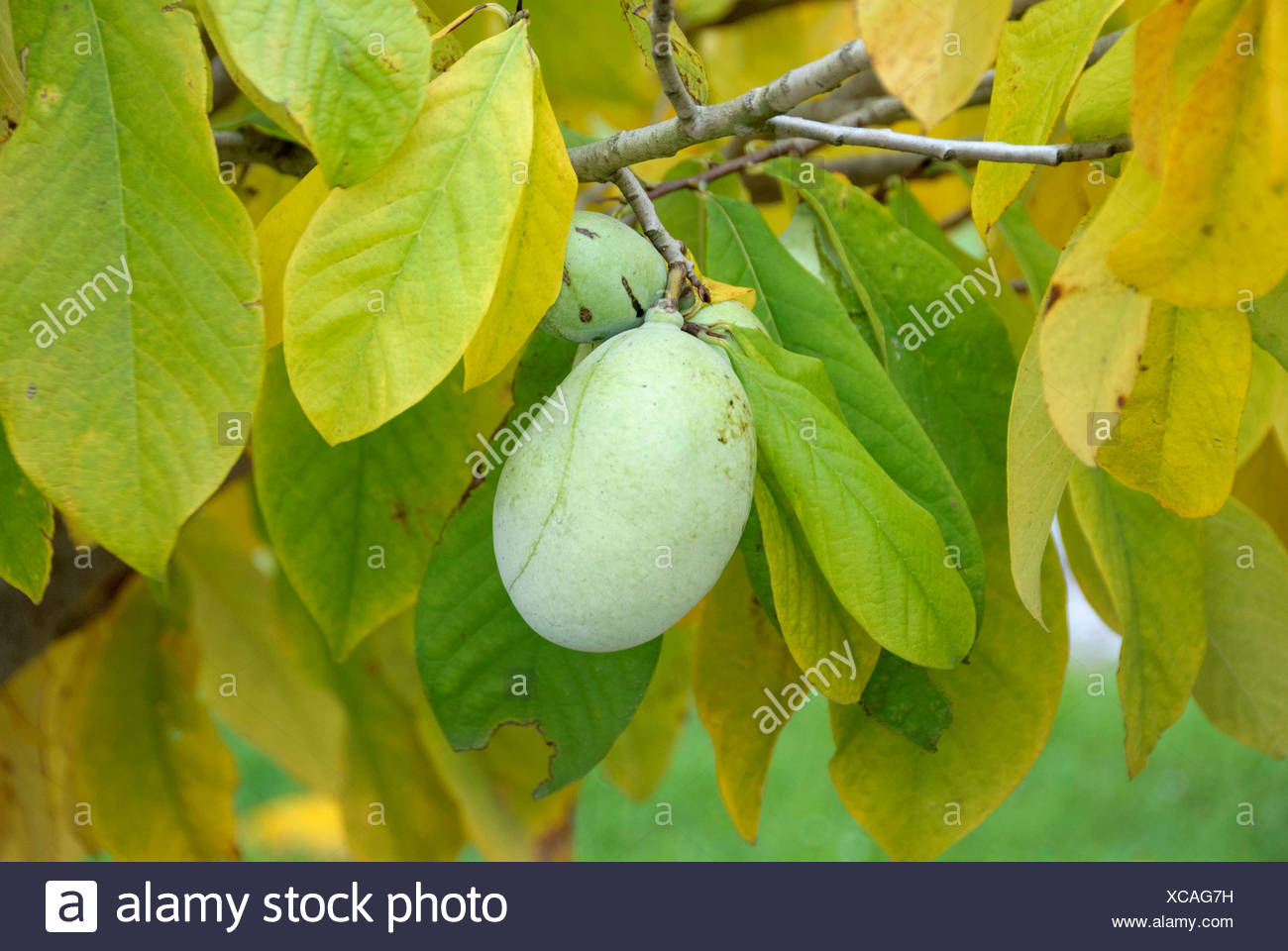 pawpaw trees stock photos  u0026 pawpaw trees stock images