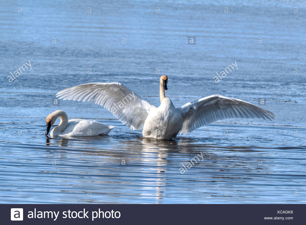 Trumpeter Swan (Cygnus buccinator) Beautiful white Trumpeter Swan,  in a blue lake,  finished preening and now flapping wings to dry off. Rural, Alberta, Canada Stock Photo