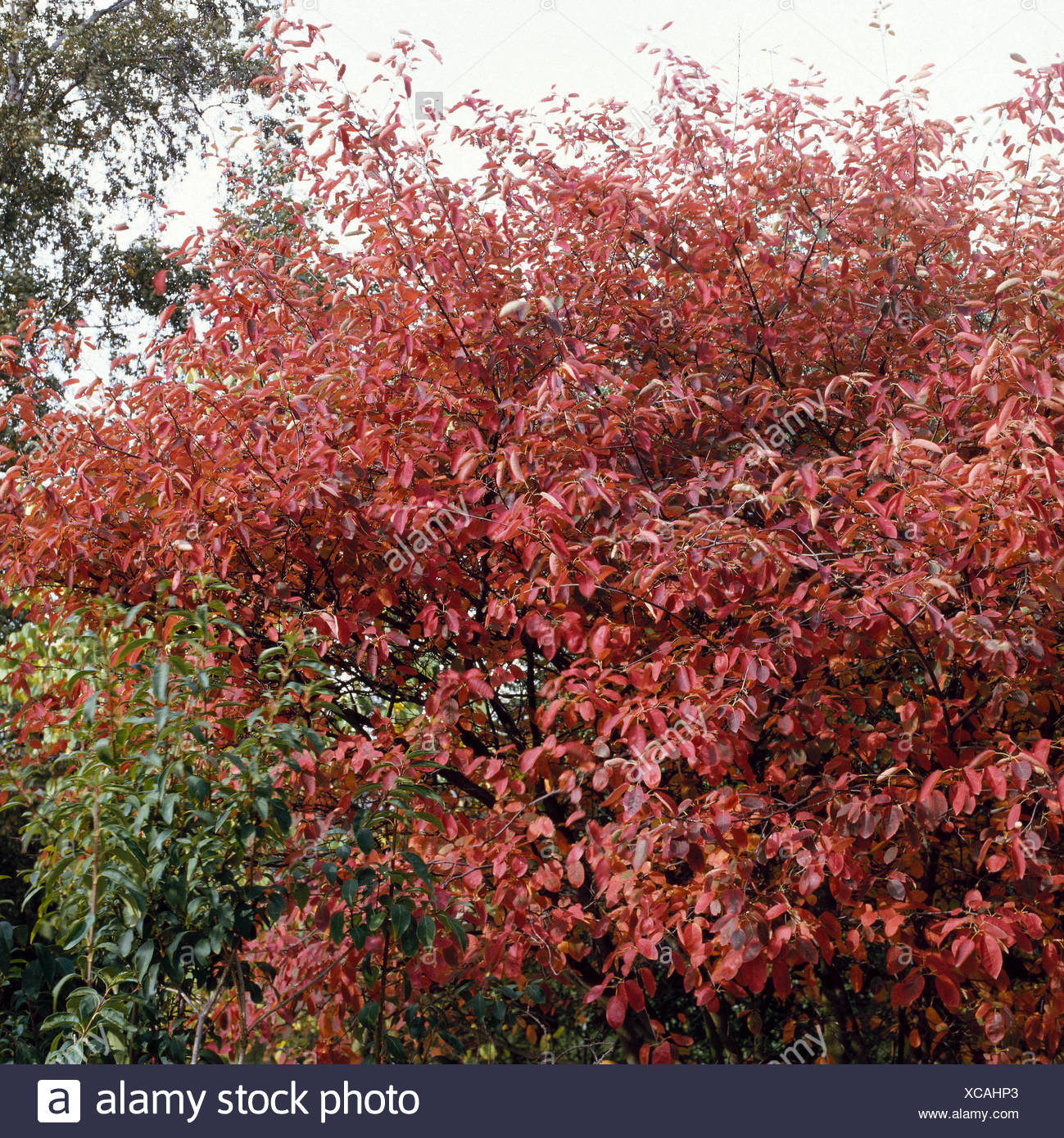 Amelanchier lamarckii AGM. - in Autumn colour   TRS020694 - Stock Image