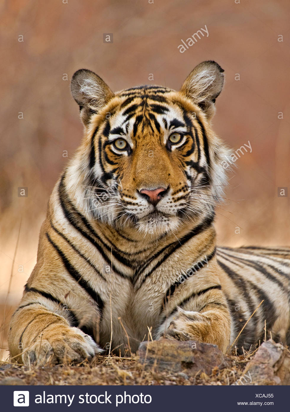 Bengal Tiger (Panthera tigris tigris) female by temple. Ranthambore. India - Stock Image