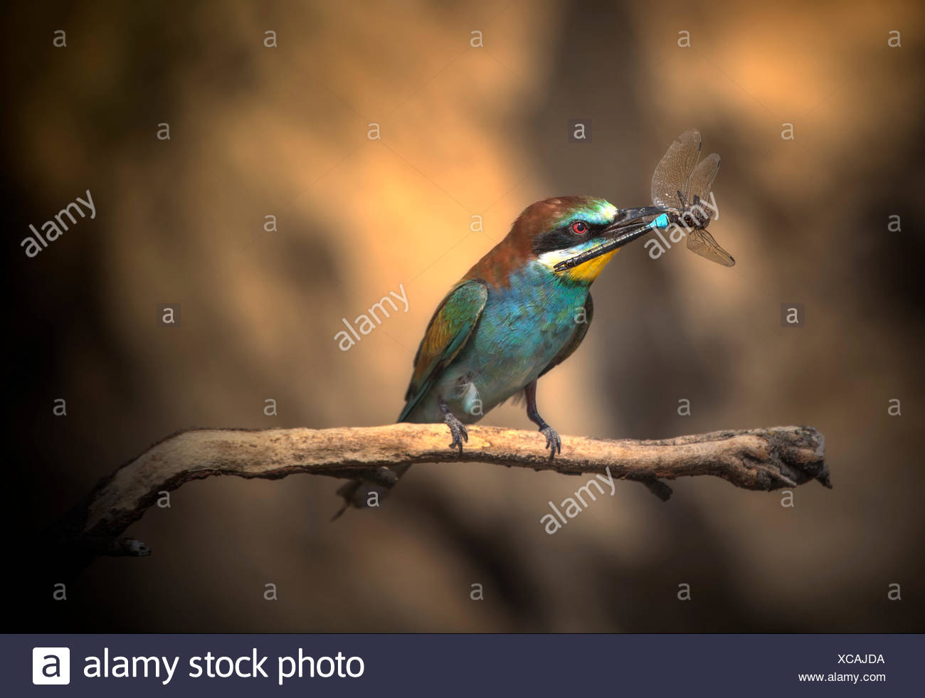 Spain, Navarra, Comunidad Foral de Navarra, Bee-eater perching on branch and holding insect - Stock Image