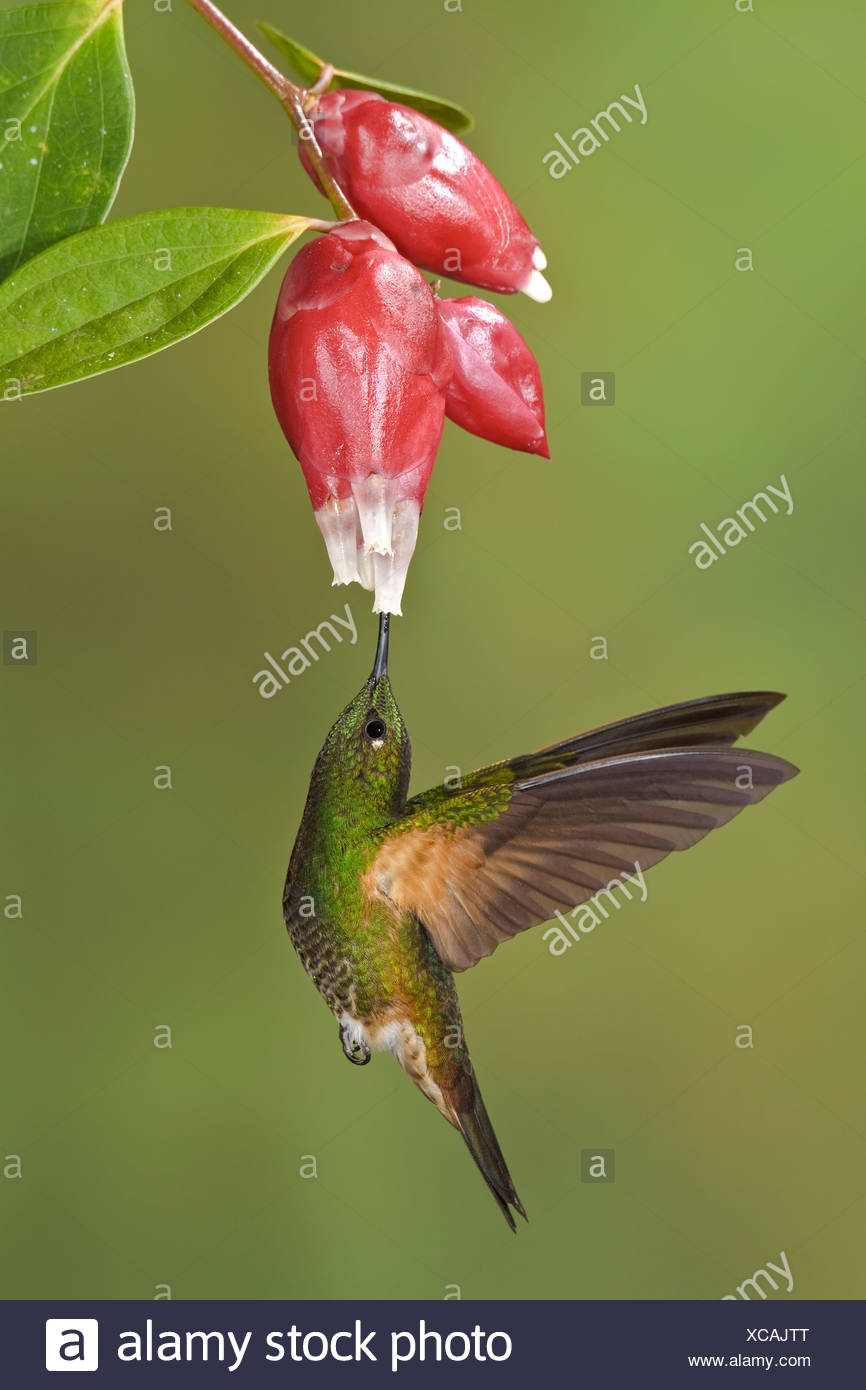 Buff-tailed Coronet (Boissonneaua flavescens) feeding at a flower while flying at the Mindo Loma  reserve in northwest Ecuador. - Stock Image