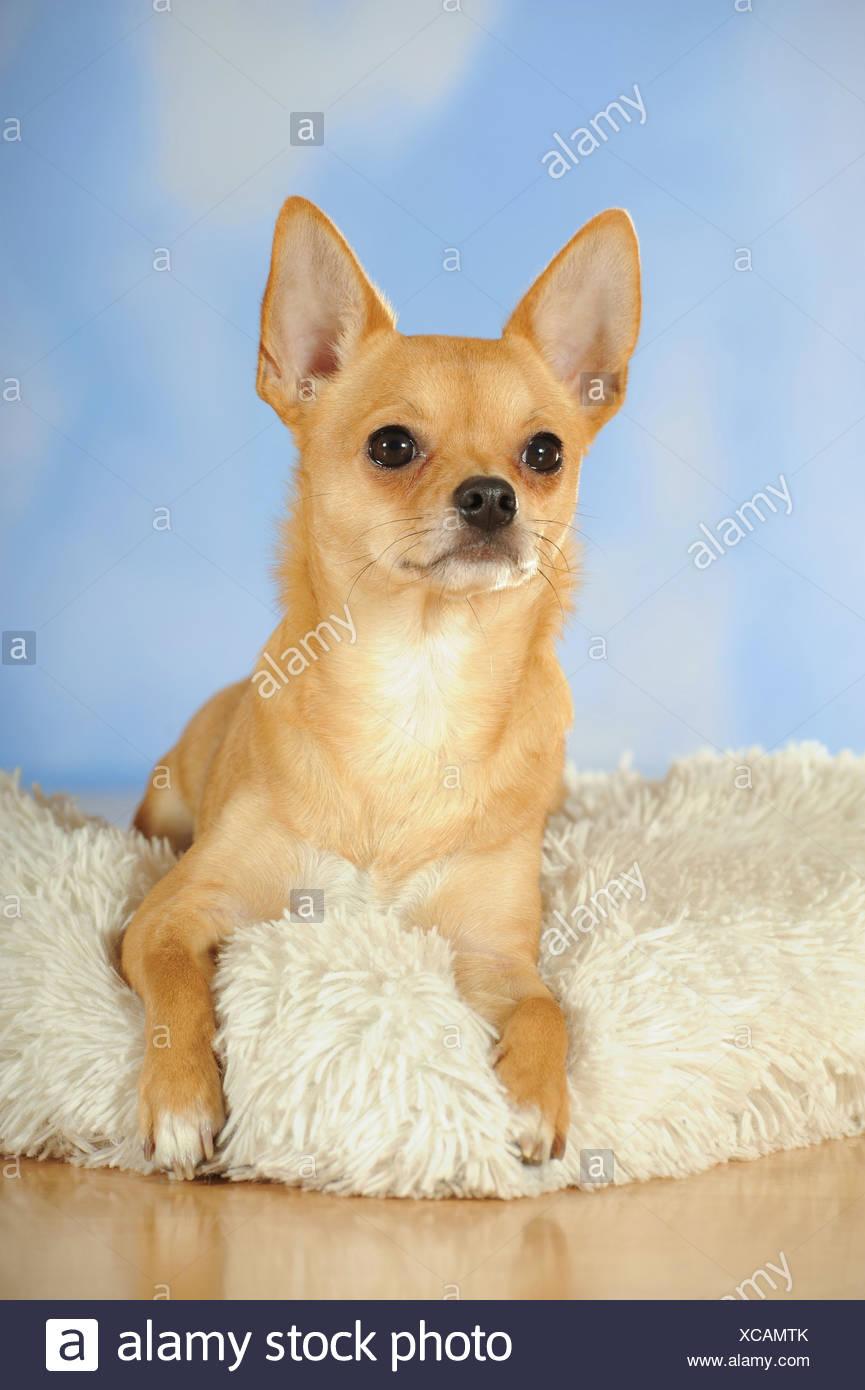 Chihuahua lying on a sheepskin - Stock Image