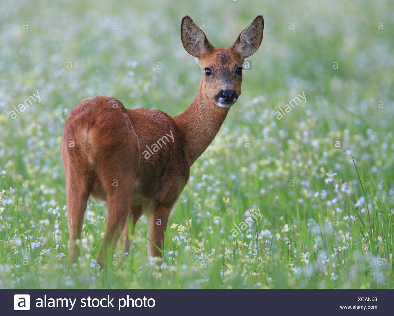 Roe Deer Goat looks in wonder after having a strange smell in her nose Stock Photo