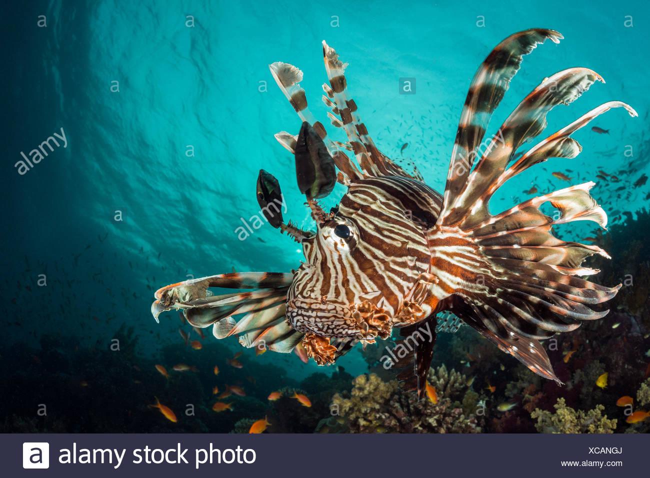 Common Lionfish, Pterois miles, Fury Shoal, Red Sea, Egypt - Stock Image