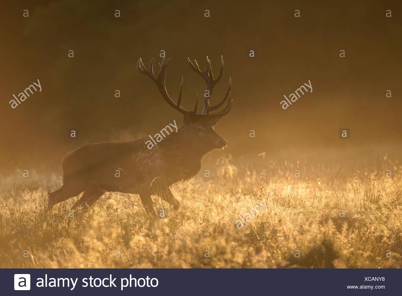 Red deer (Cervus elaphus), stag in first light, dewy meadow and fog, Zealand, Denmark - Stock Image