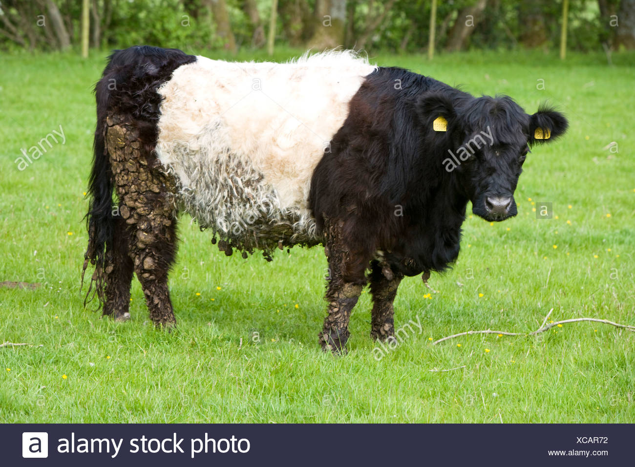 Belted Galloway rare breeds cow - Stock Image