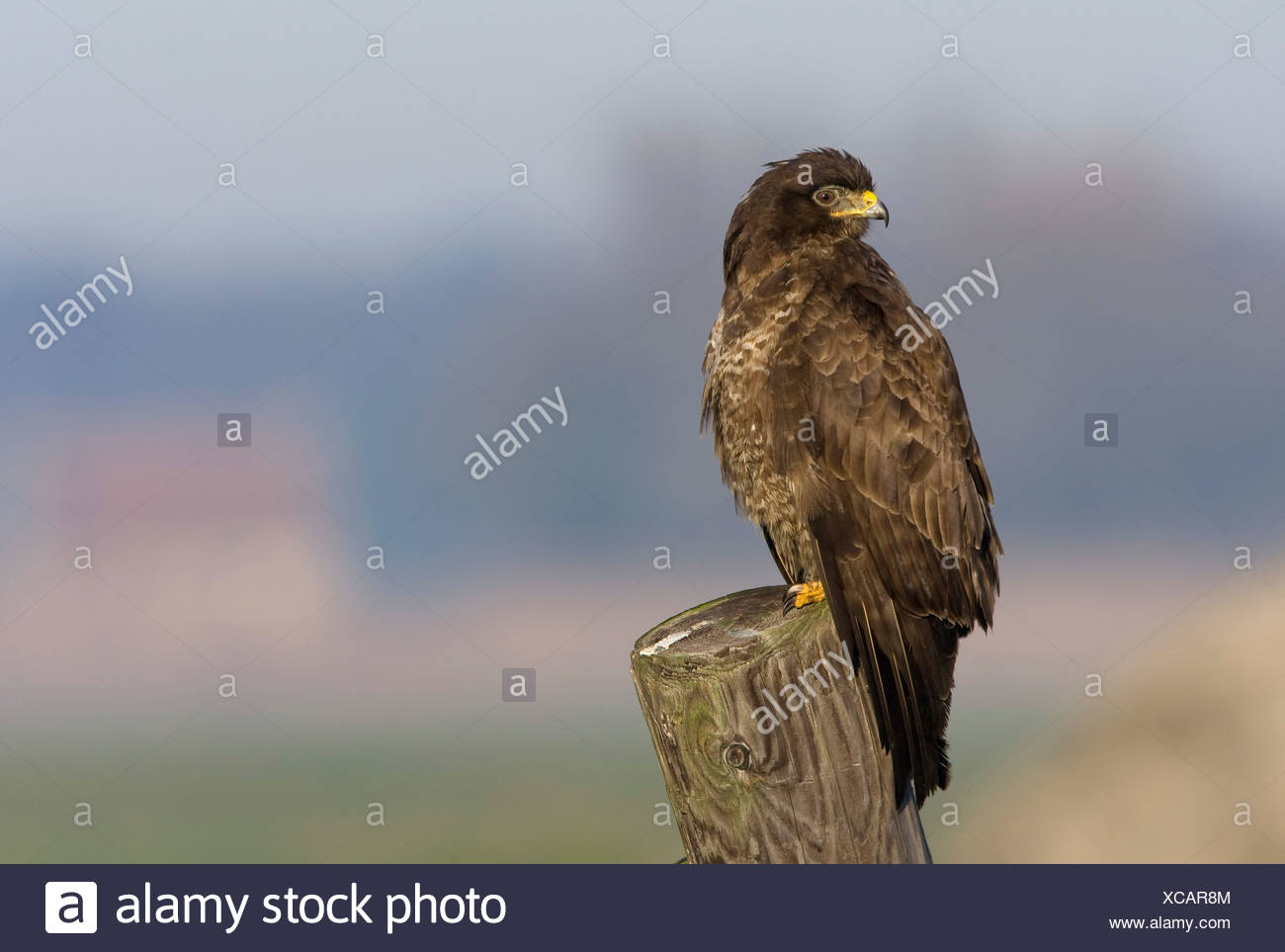 Common Buzzard on a stake-out Buizerd op de uitkijk - Stock Image