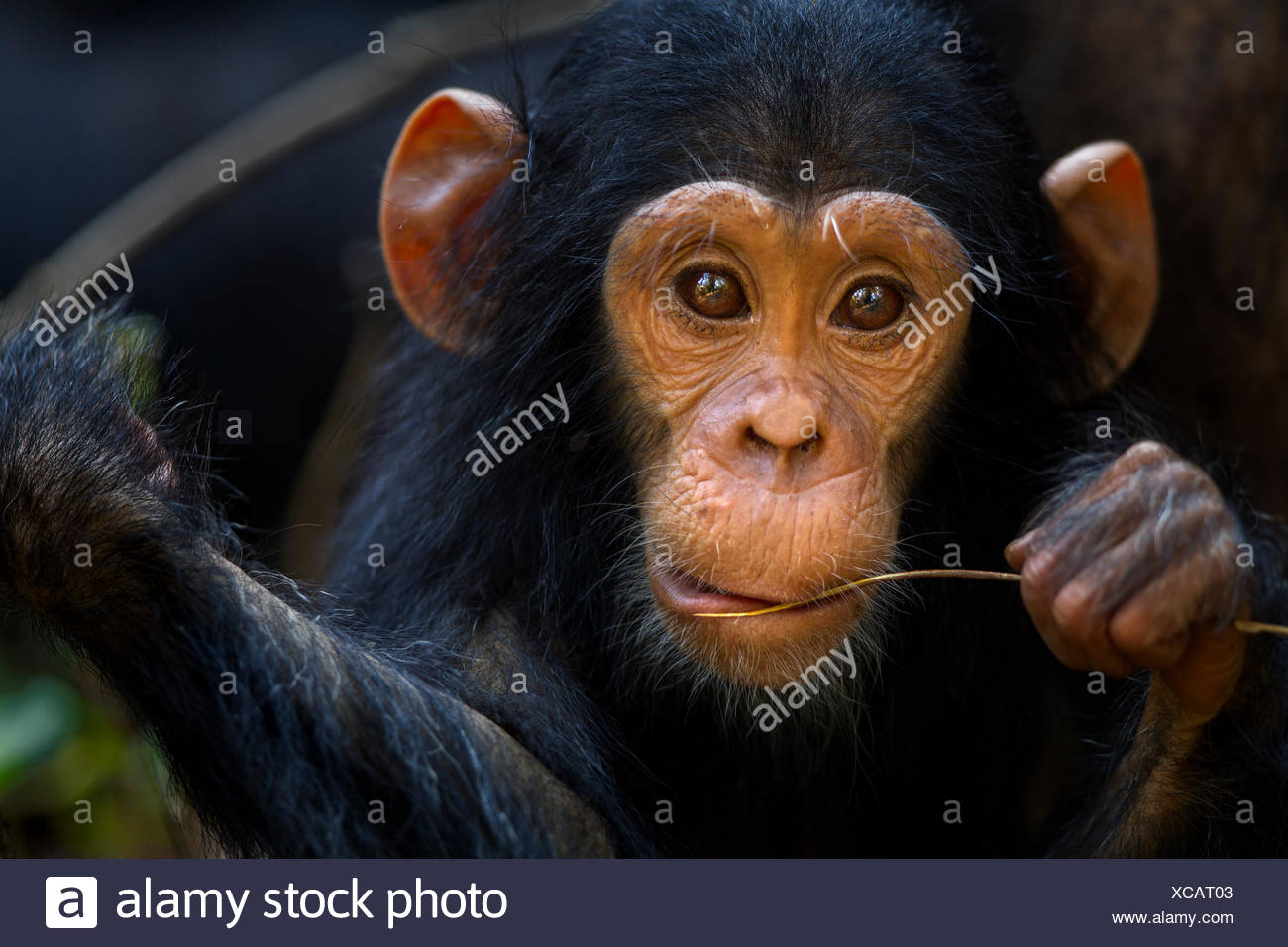 Eastern chimpanzee (Pan troglodytes schweinfurtheii) infant male 'Google' aged 2 years, portrait. Gombe National Park, Tanzania. - Stock Image