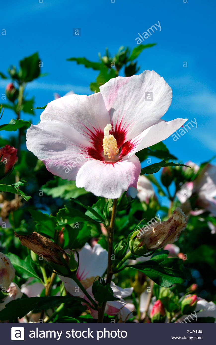 Blooming Hibiscus Red Heart Hibiscus Syriacus Cultivar Red Heart
