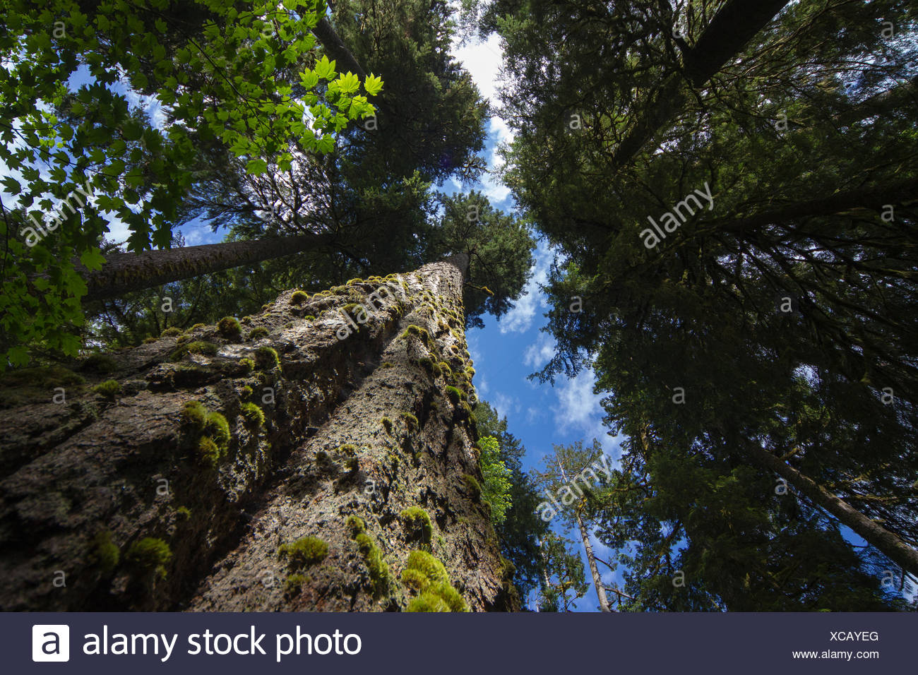 Low angle view of trees in the Hoh Rainforest, Hall of Mosses Trail, Olympic National Park, Jefferson County, Washington, USA, J - Stock Image