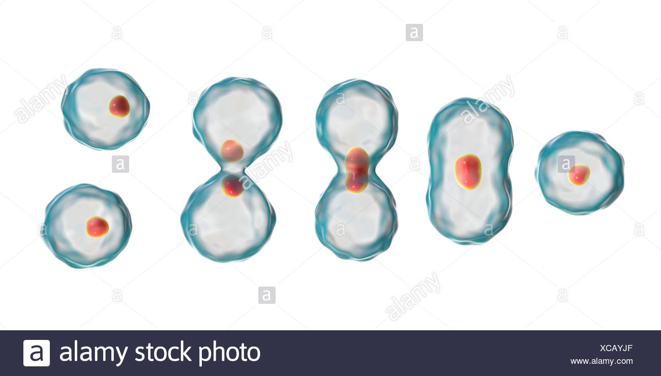 Nuclear division, computer illustration. Stock Photo