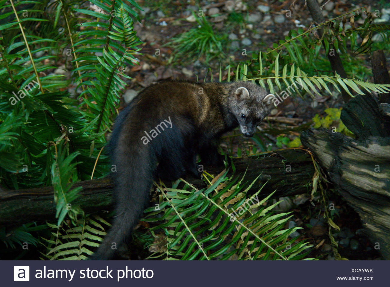 Fisher Martes pennanti Marten one 1 Animal Animals Wilderness Wildlife Fauna Nature Plants North America - Stock Image