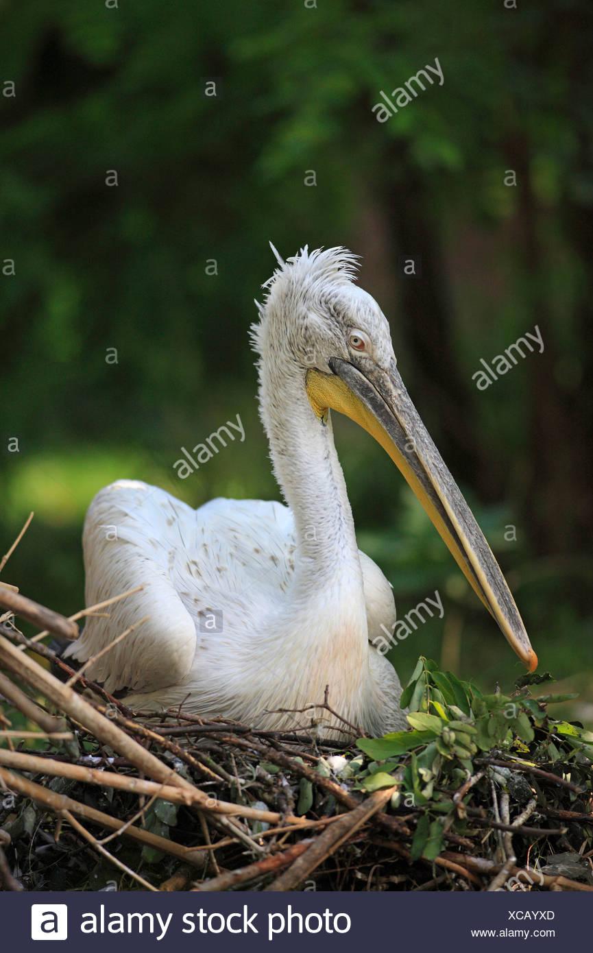 Dalmatian Pelican, on nest / (Pelecanus crispus) Stock Photo