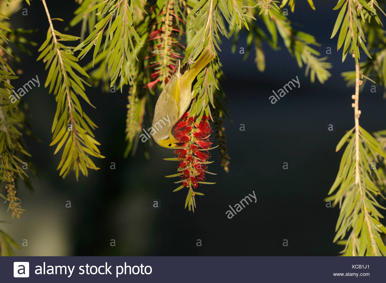 White-plumed Honeyeater, Lichenostomus penicillatus, Meliphagidae, bird, animal, bottlebrush, Alice Springs, Northern Territory, - Stock Image