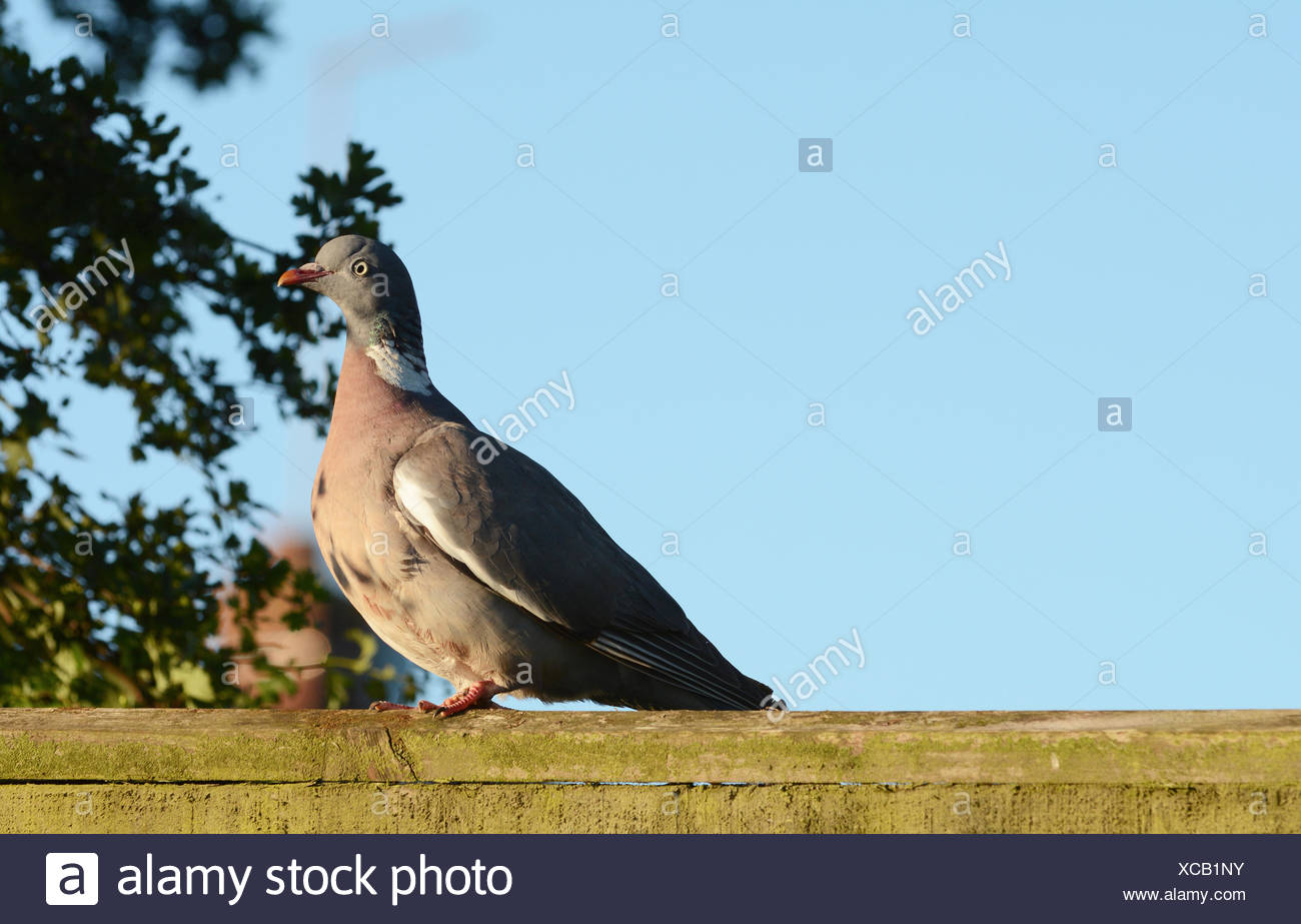 Plump wood pigeon on a wooden fence - Stock Image