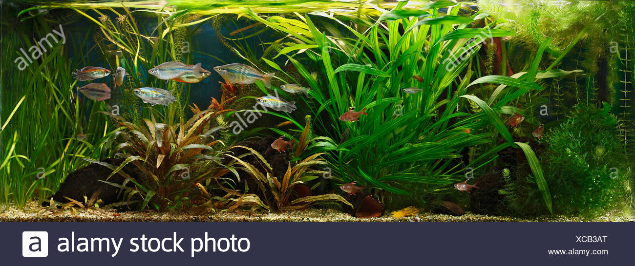 Germany, Fish swimming in fresh water aquarium - Stock Image