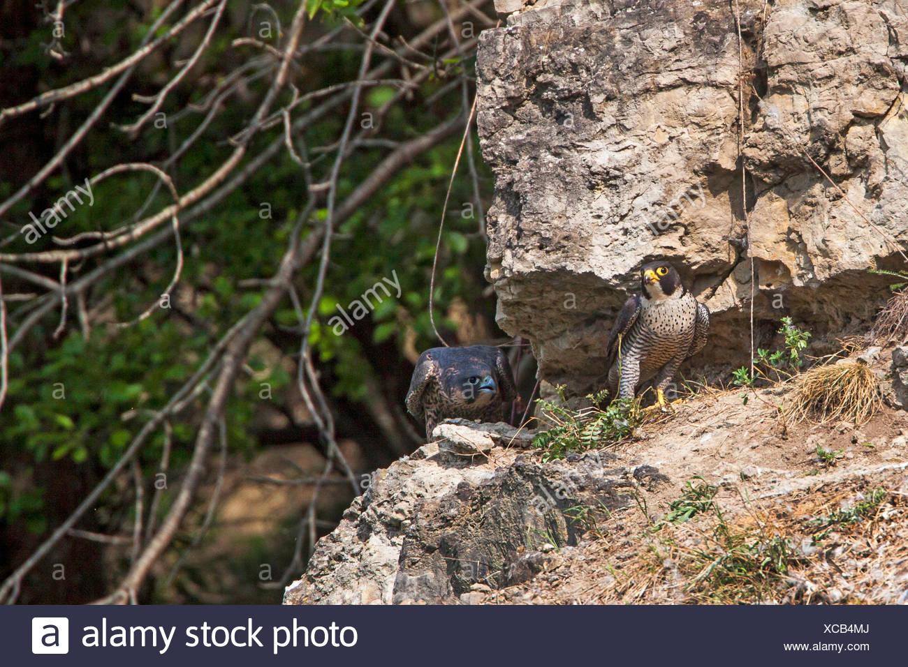 Wanderfalke, Wander-Falke (Falco peregrinus), Junge im Horstbereich, Deutschland | peregrine falcon (Falco peregrinus), juvenile - Stock Image