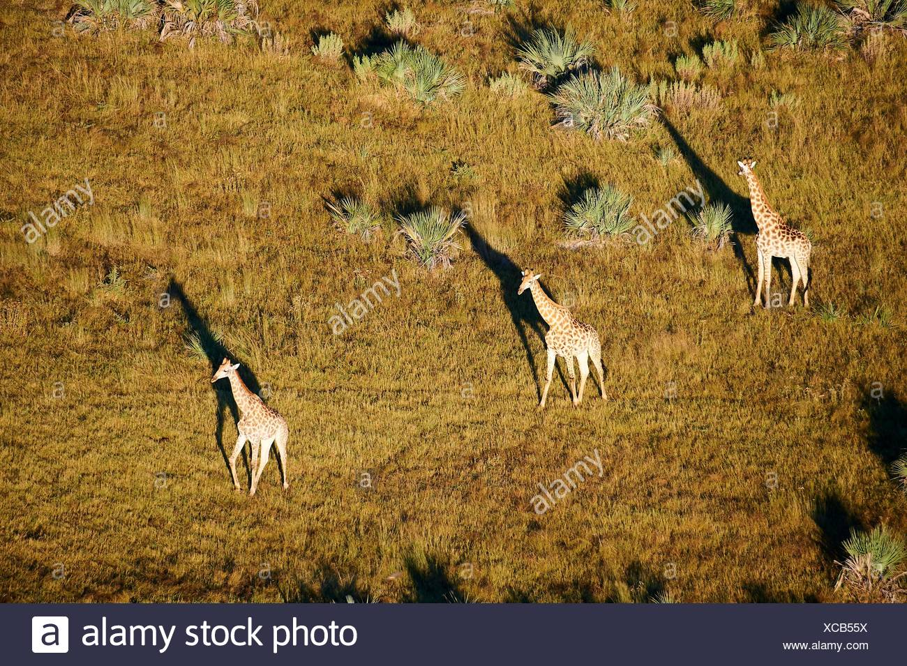 Aerial view of Giraffe group running (Giraffa camelopardalis angolensis) with shadow at sunrise, Okavango delta, Botswana, Africa. - Stock Image