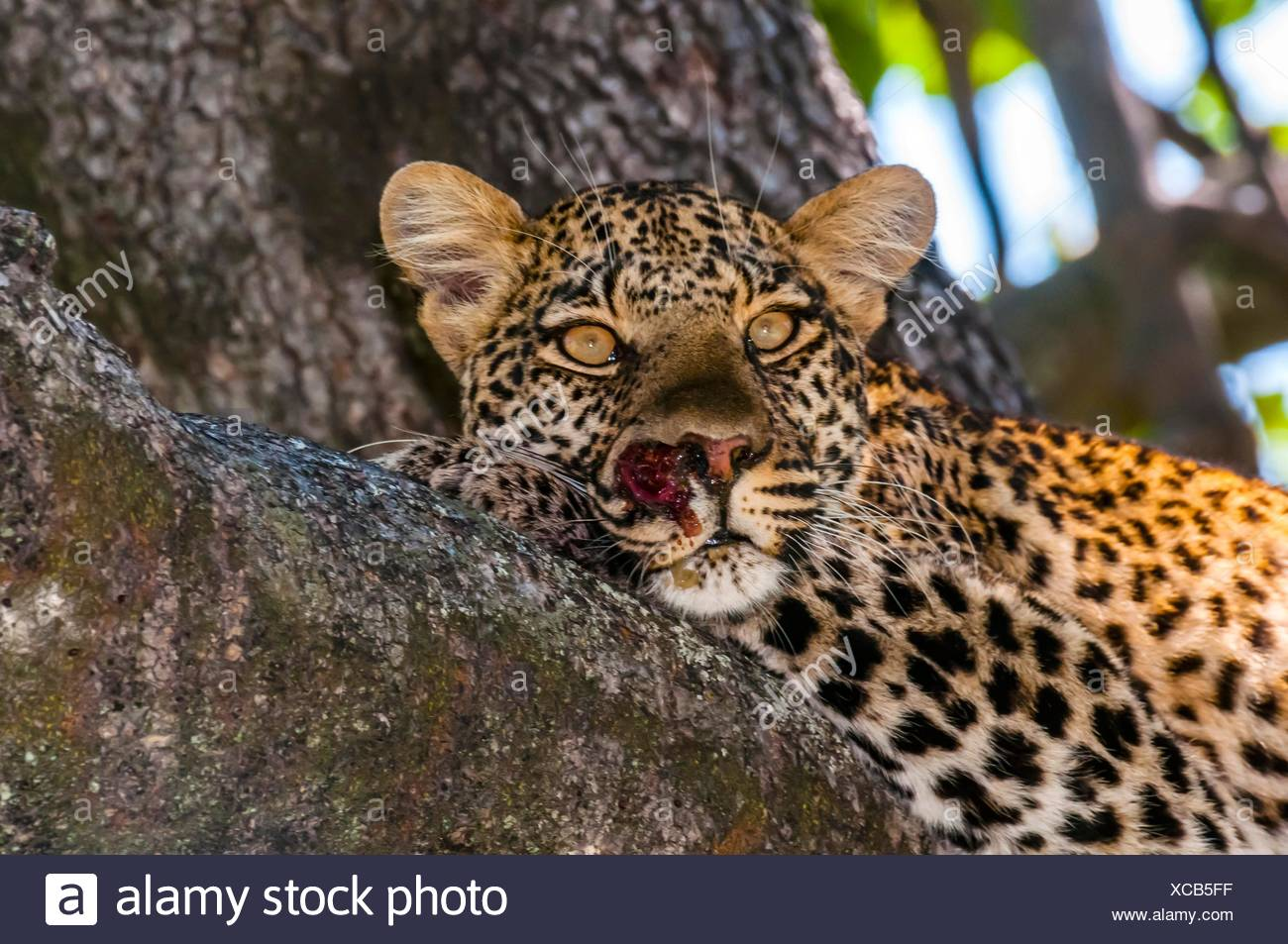 Leopard sitting in a tree, Kwando Concession, Linyanti Marshes, Botswana. Stock Photo