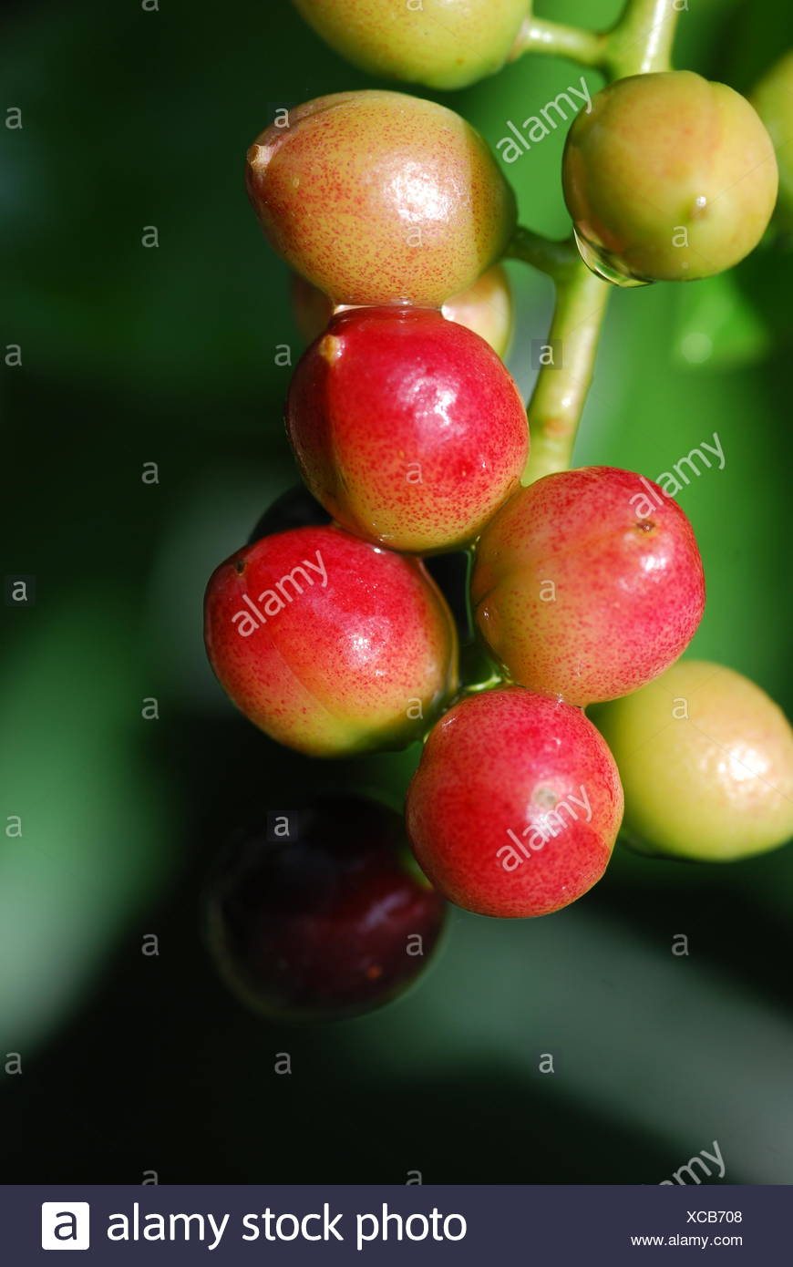 laurel cherry (prunus laurocerasus) - Stock Image
