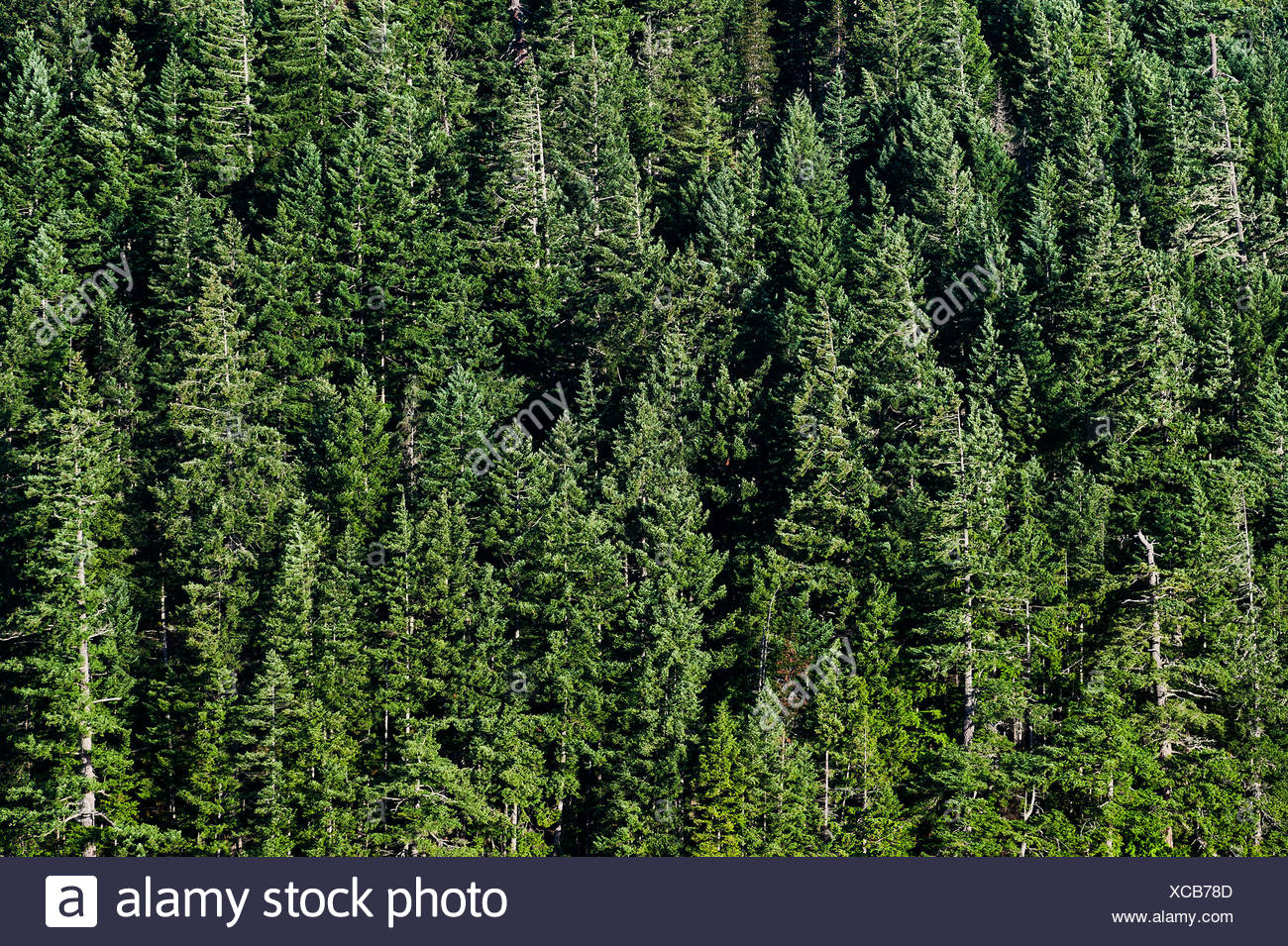 Stand of coniferous trees, British Columbia, Canada - Stock Image