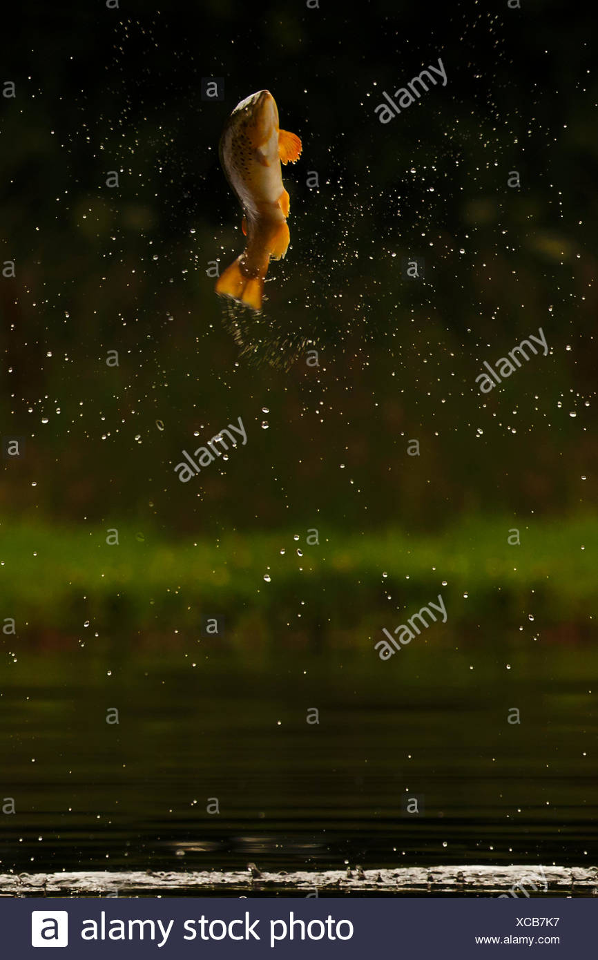 Brown trout (Salmo trutta) jumping for insects, Scotland, UK.. - Stock Image