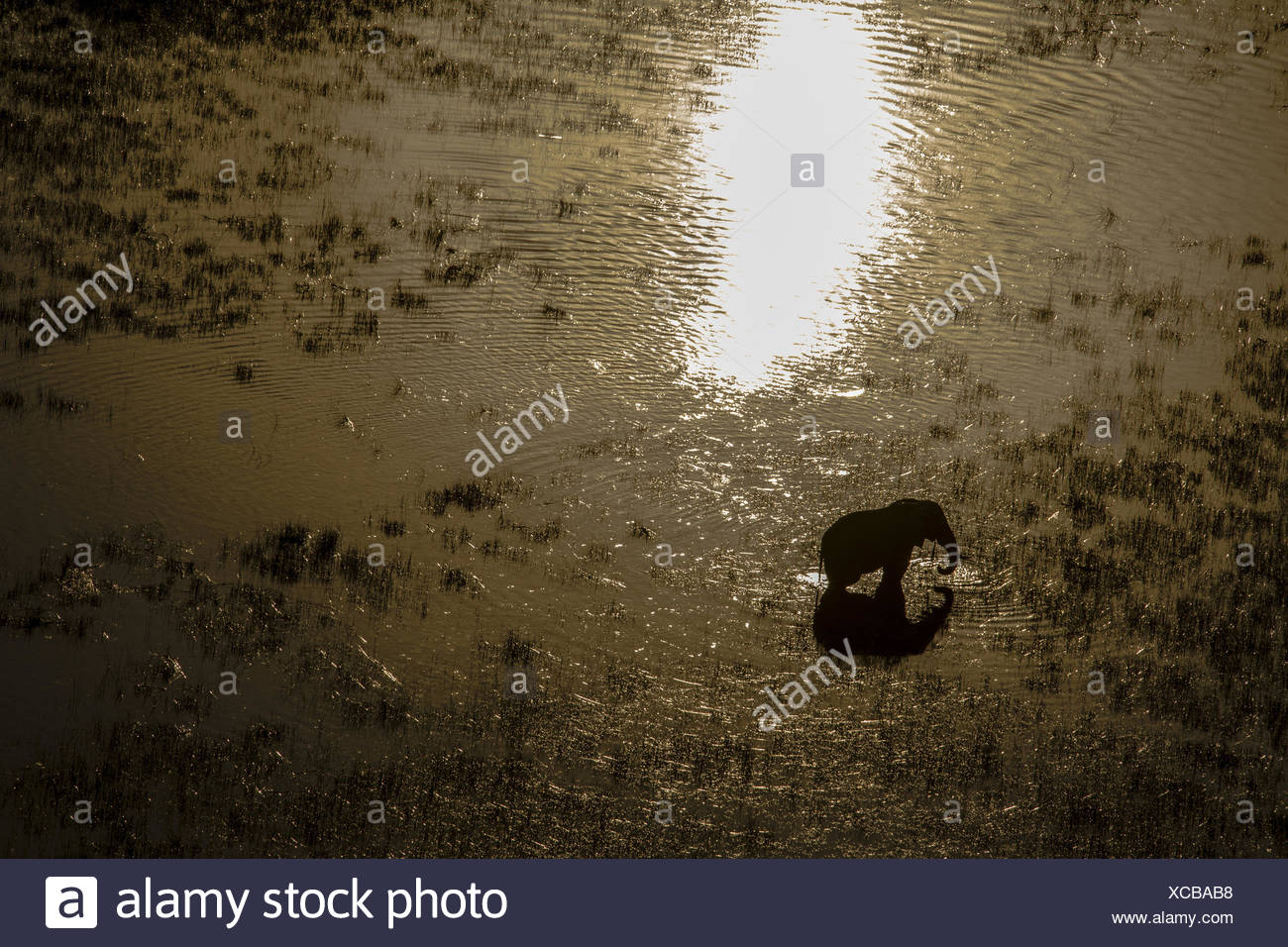 An elephant, Loxodonta africana, drinking in the spillway as the sun sets. - Stock Image