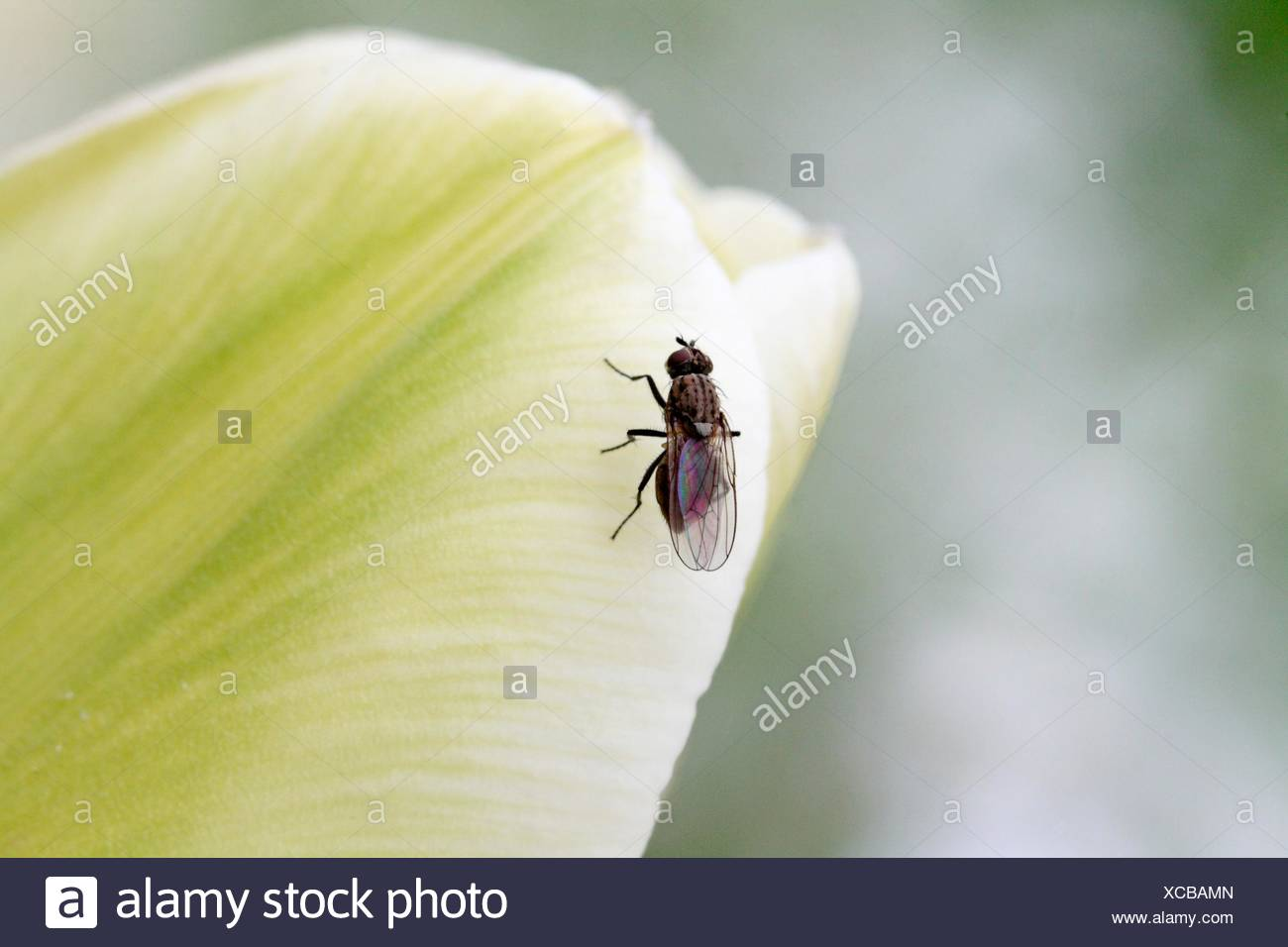 Fly on white tulip  Small fly perched on the tip of a newly opened white tulip which is lime green - Stock Image
