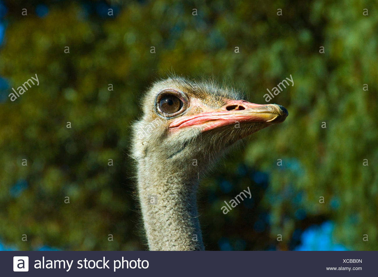 Ostrich (Struthio camelus), portrait, South Africa Stock Photo
