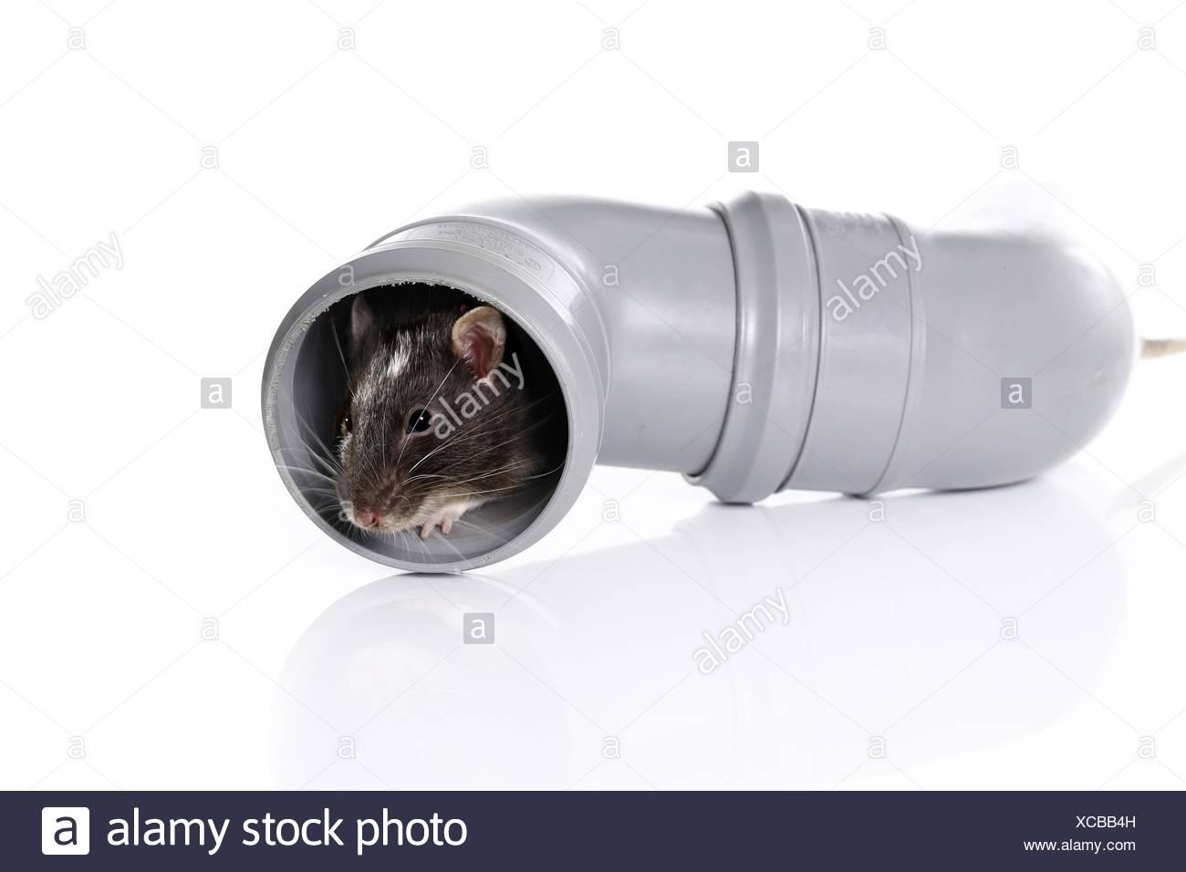 rat in pipe - Stock Image