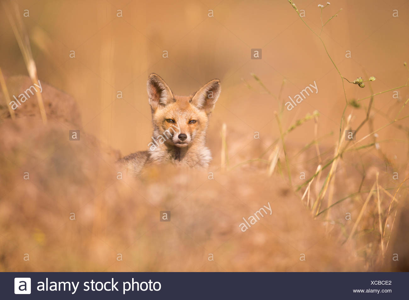 Juvenile Red Fox (Vulpes vulpes). The Red Fox is the largest of the true foxes, as well as being the most geographically spread member of the Carnivor - Stock Image