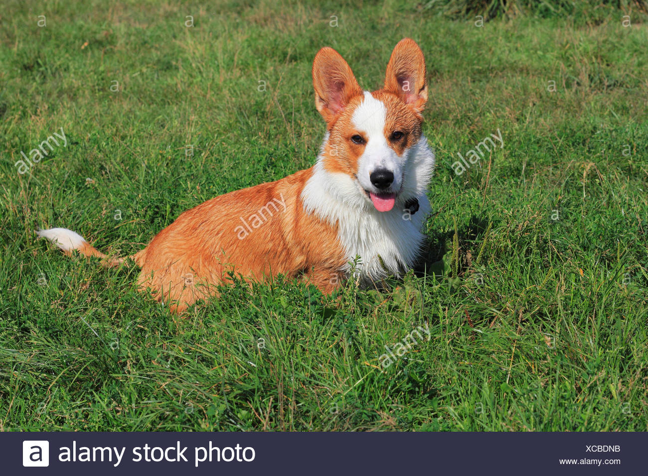 Welsh Corgi Cardigan (Canis lupus f. familiaris), six months old male dog sitting in a meadow, Germany - Stock Image