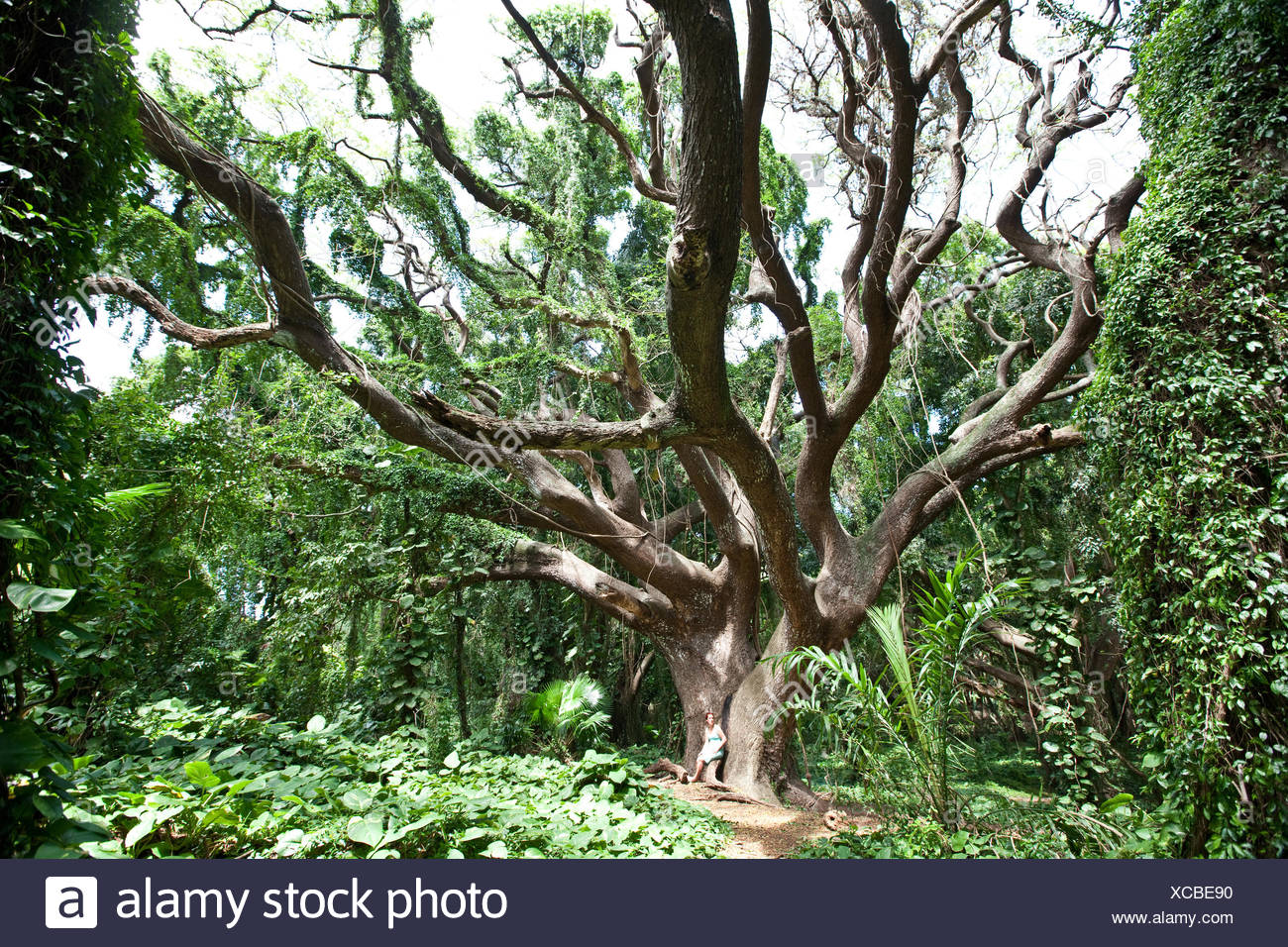 Huge tree in the virgin forest of Maui - Stock Image