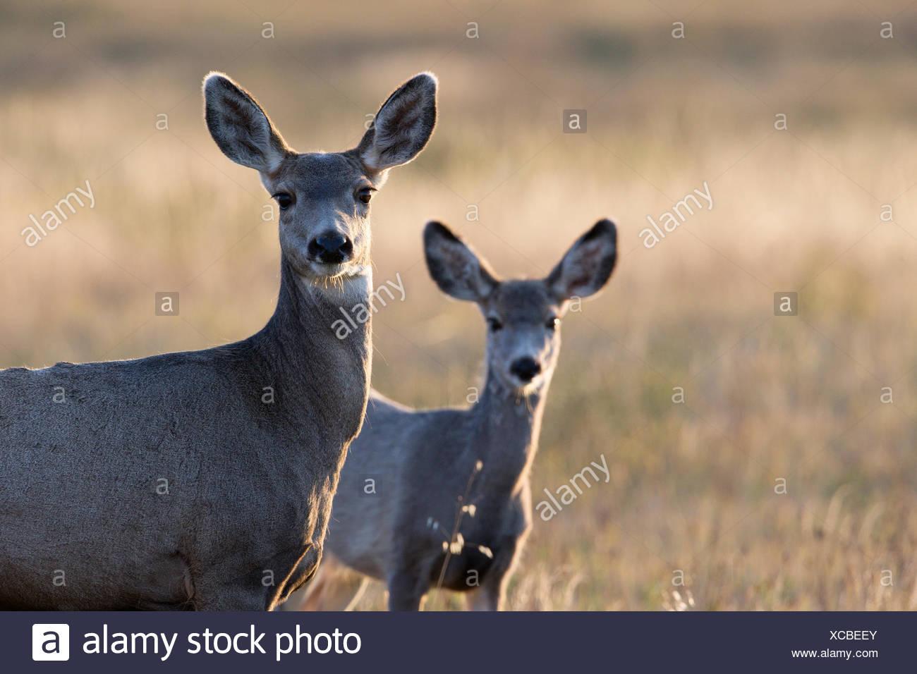 Mule deer (Odocoileus hemionus), doe and fawn, Grasslands National Park, Saskatchewan. - Stock Image