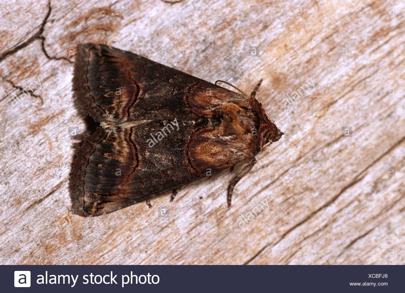 Dark spectacles (Abrostola triplasia), on deadwood, Germany - Stock Image